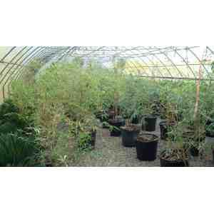 High Bambusa Multiplex Bambusa Multiplex Online Plant Guide Bambusa
