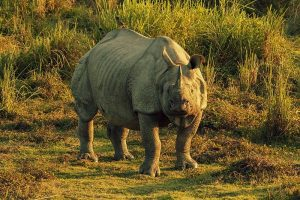 From the Land of the Arnas_Gorumara Kaziranga Assam