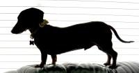 LeBron the dachshund