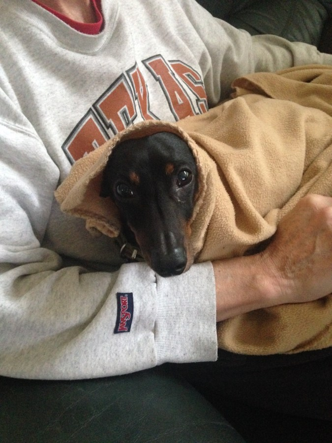 Bronnie the dachshund in a blanket
