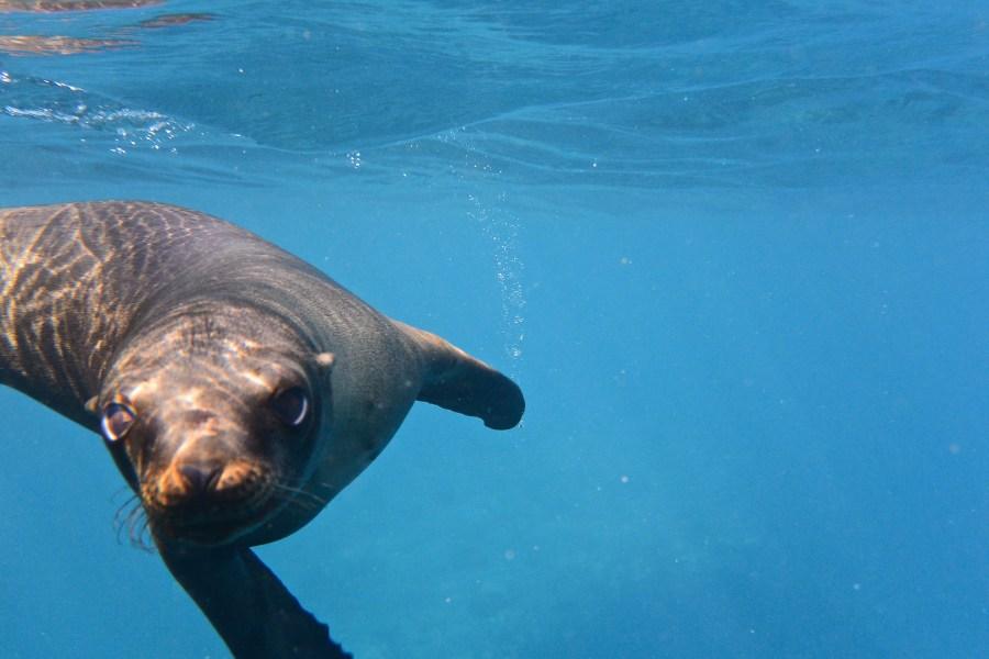 Dachshund goes snorkeling in Alaska