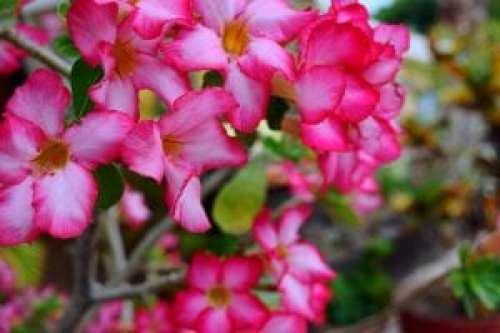 Loreto Pink Flowers