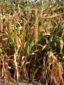 Field grown millet