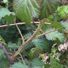 Rubus fruiticosus