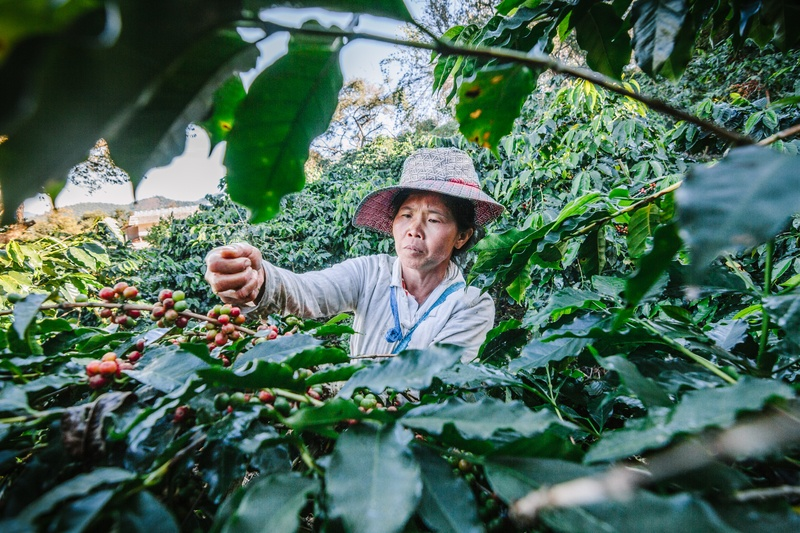 Woman Picking Coffee Beans on Plantation Coffee Journey from Seed to Table by Coletti Coffee