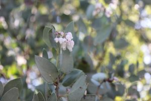 wild-crafted-manzanita-flower-essence-1