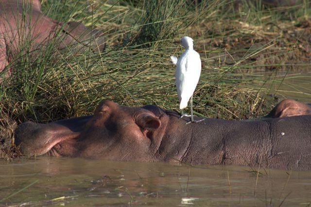 estuary-hippo-and-friend