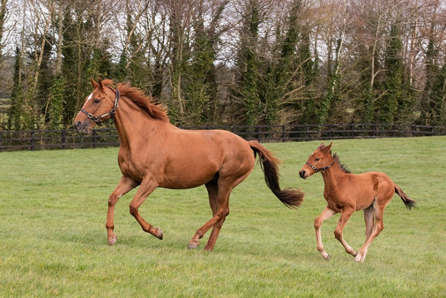 Annie Power with her new foal by Galileo - 2019