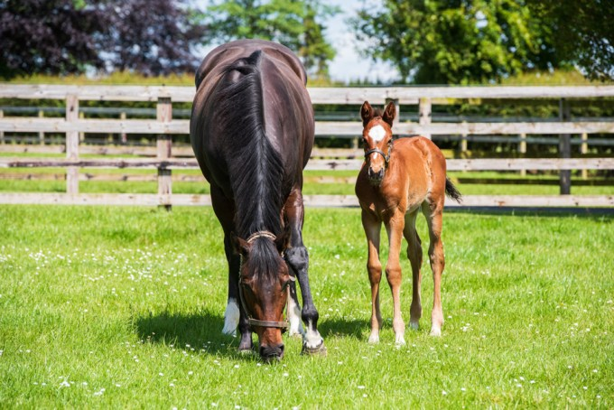 Tepin and her first foal by Galileo 2019