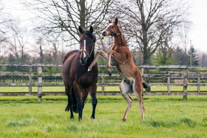 Tiggy Wiggy with her new foal by Galileo 2019