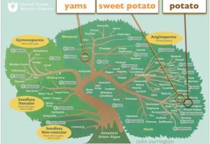 yams-and-sweet-potatoes-tree