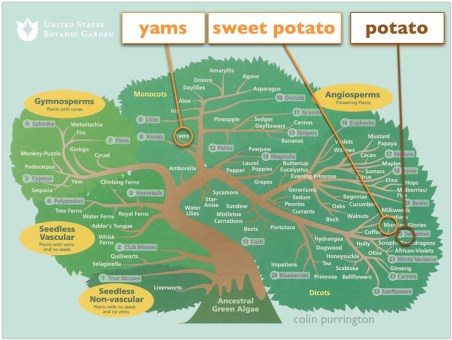 yams-and-sweet-potatoes-tree