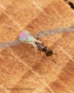 Small wasp at mason bee house