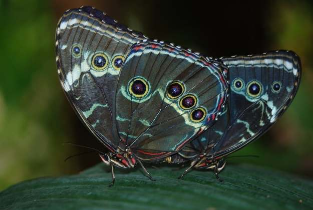 Butterfly Wing Cosmetic Colours