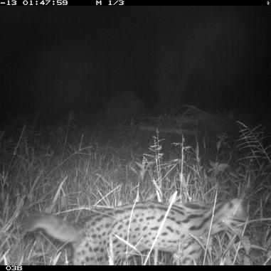 Leopard cat_OP