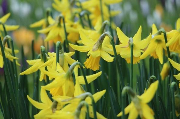 Lus an Chromchinn (Daffodil)