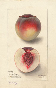 peach1web.jpg