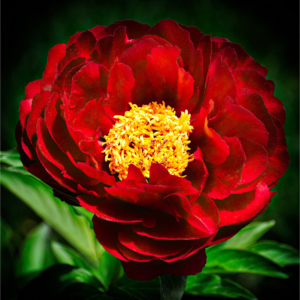 Beautiful red peony with bright yellow center and green leaves