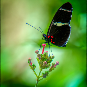 Black butterfly on budding pink flower