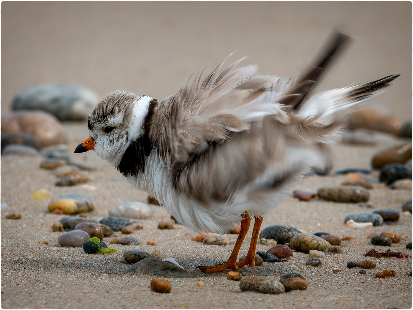 Plover shaking his feathers after taking a dip in the water along the shoreline