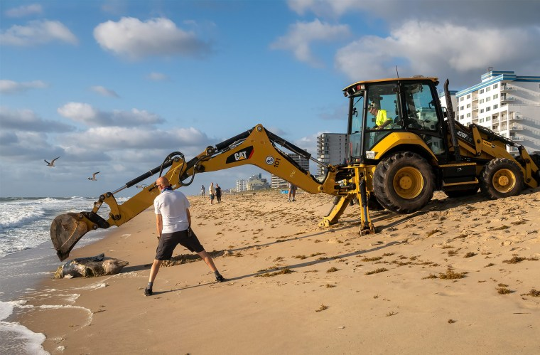 Decomposed dolphin washes up on beach with backhoe on the sand