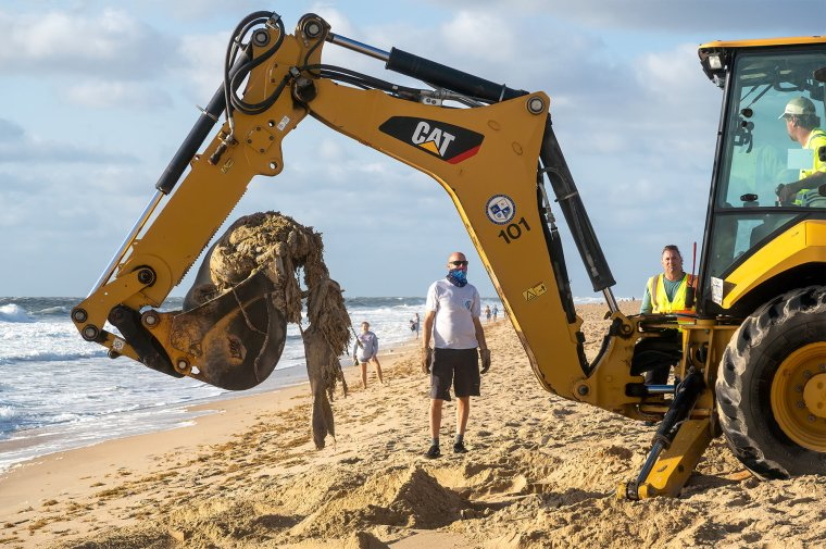 Decomposed dolphin picked up by backhoe on the ocean beach