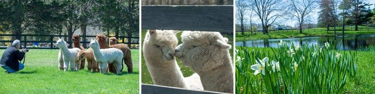 Three views of Stillmeadow Alpaca Farm