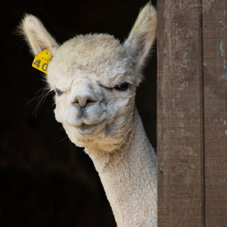 White alpaca with ear tag standing near side of brown barn