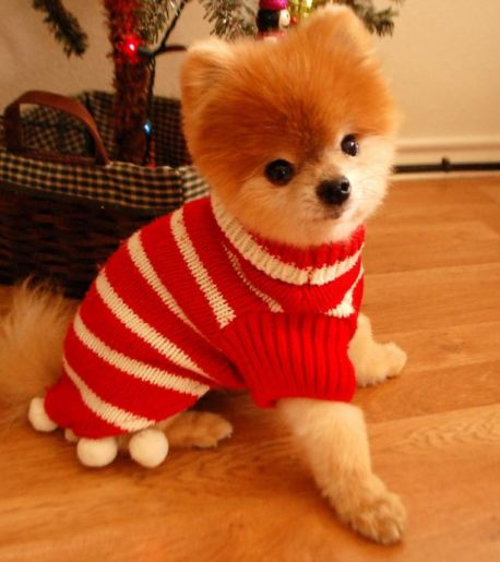 Adorable dog with Christmas sweater