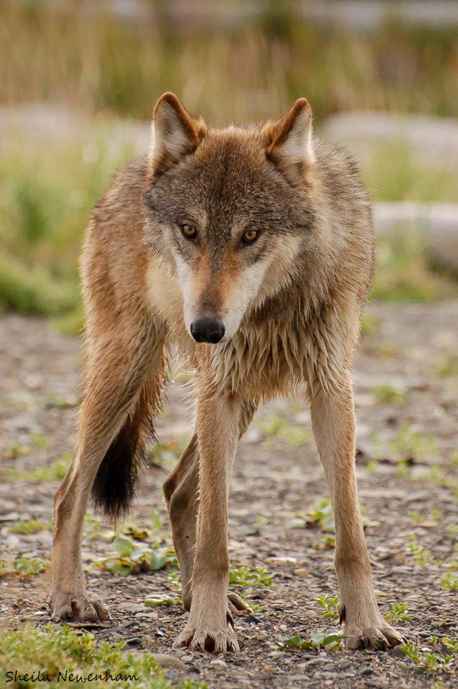Wolf photo by Sheila Newenha