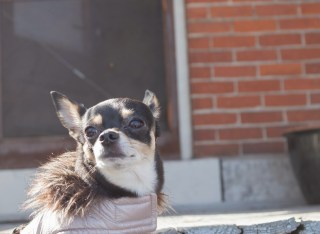 chihuahua in winter coat