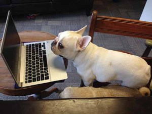 french bulldog works on his college applications