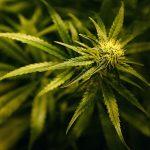 A History Of Medicinal Cannabis