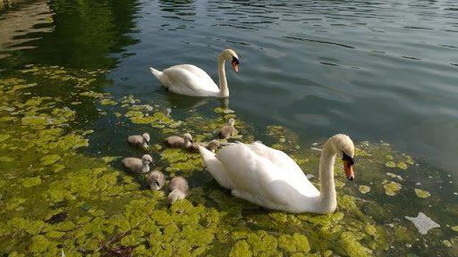 ucd lake swans