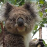 Poo to the Rescue: Why we are Giving Faecal Transplants to Koalas?