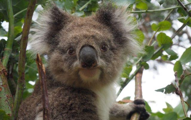 koalas faecal transplants.jpg
