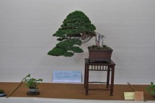 Bonsai vincitore1