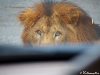 Löwen im Bannerghatta Biological Park