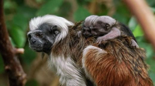 Colombiaanse Pinché-aapjes geboren in Blijdorp