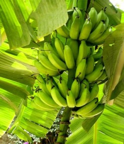 Colombiaanse bananenteeltbedrijven onder quarantaine vanwege schimmel