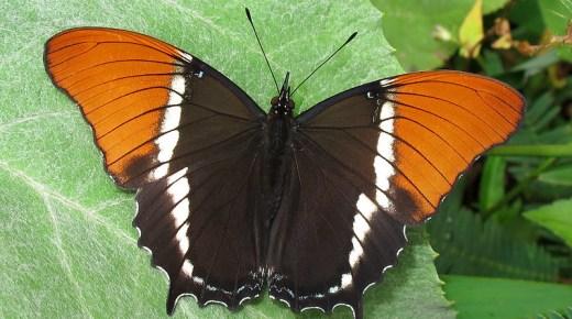 Colombia heeft 's werelds grootste variëteit aan vlindersoorten