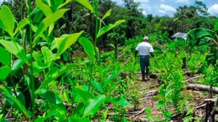 cultivos de coca colombia