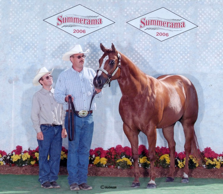 showing halter horse