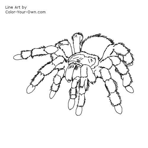 hairy legged tarantula coloring page