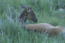 pregnant elk