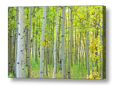Aspen-Tree-Forest-Early-Autumn-Time-Canvas-Art