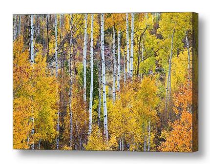 Autumn Aspen Tree Magic Canvas Art Print