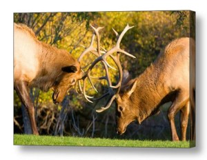 Two-Bull-Elk-Sparring-Canvas-Wall-Art-Print