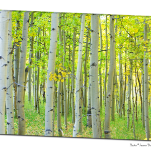 Autumn Time Aspen Tree Forest 32″x48″x1.25″ Premium Canvas Gallery Wrap