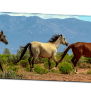 "Grey, White And Chestnut Wild Horses Panorama View 32""x48""x1.25"" Premium Canvas Gallery Wrap"